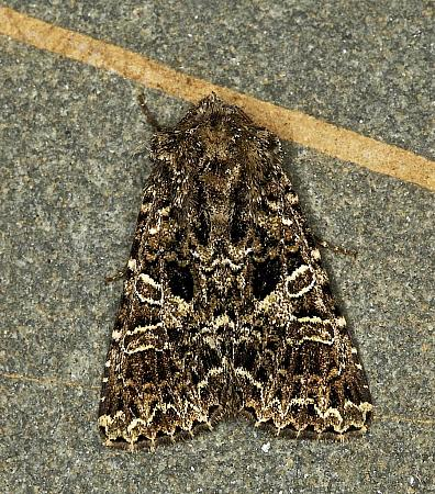 73.281 Lychnis, Hadena bicruris, Co Louth