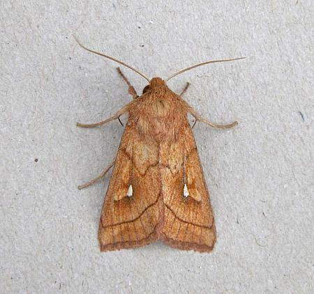 73.29 Brown-line Bright-eye, Mythimna conigera, Co Wicklow