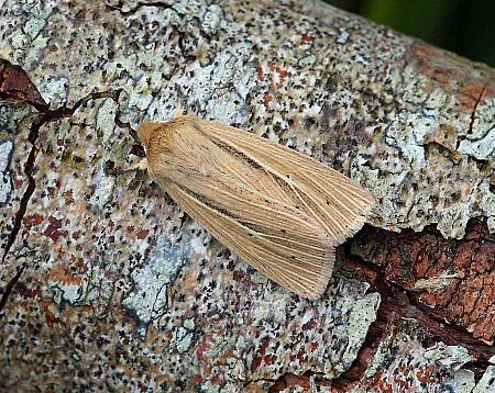 Smoky Wainscot, Mythimna impura, Co Donegal