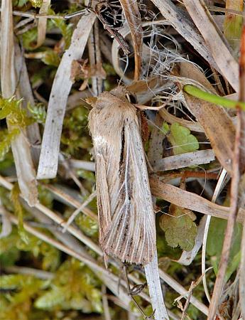 73.301 Shoulder-striped Wainscot, Leucania comma, Co Wexford