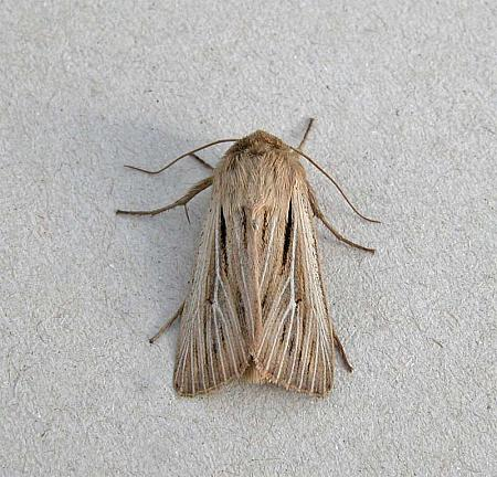 73.301 Shoulder-striped Wainscot, Leucania comma, Co Wicklow