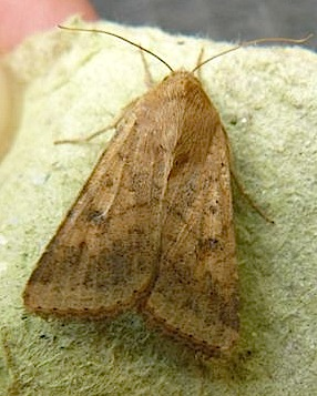 73.076 Scarce Bordered Straw, Helicoverpa armigera, Co Cork