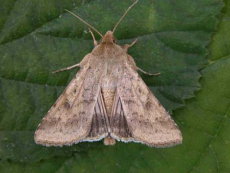 73.076 Scarce Bordered Straw, Helicoverpa armigera, Co Wicklow