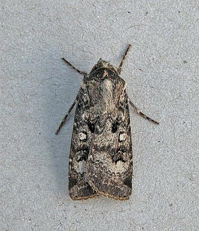 73.324 Crescent Dart, Agrotis trux, Co Wicklow