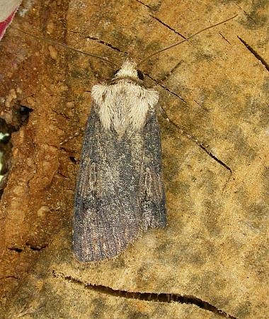 73.325 Shuttle-shaped Dart, Agrotis puta, Co. Wicklow