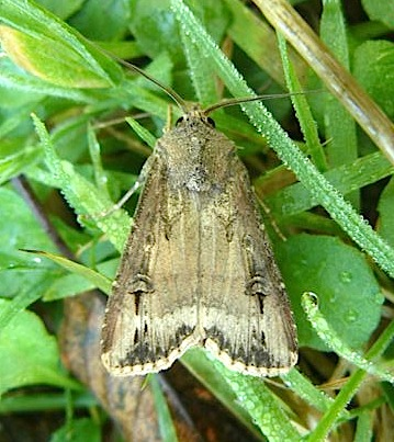73.327 Dark Sword-grass, Agrotis ipsilon, Co Cork