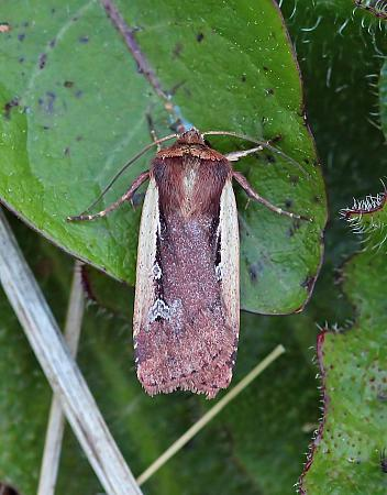 Flame Shoulder, Ochropleura plecta, Co Leitrim