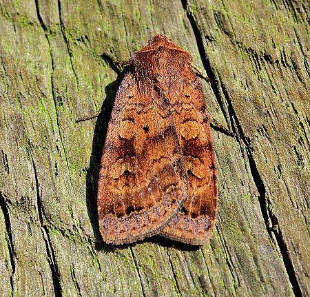 Barred Chestnut, Diarsia dahlii, Co Antrim