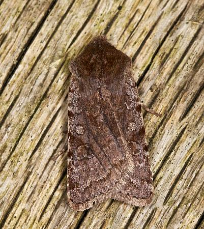 73.336 Red Chestnut, Cerastis rubricosa, Co Louth