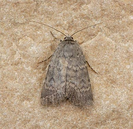 73.341 Northern Rustic Standfussiana lucernea, Co Clare