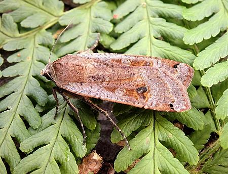 Large Yellow Underwing, Noctua pronuba, Co Antrim
