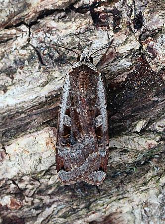 Large Yellow Underwing, Noctua pronuba, Co. Leitrim