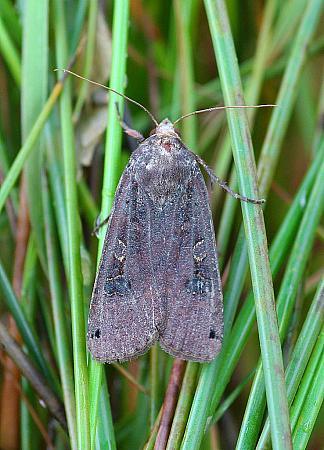Large Yellow Underwing, Noctua pronuba, Co Donegal