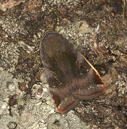 73.348 Lesser Broad-bordered Yellow Underwing, Noctua janthe, Co Louth