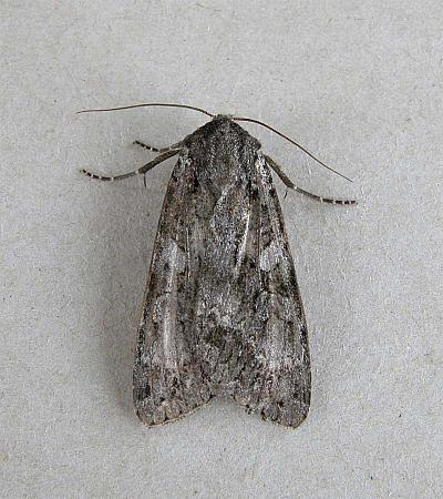 73.35 Great Brocade, Eurois occulta, Co Wexford