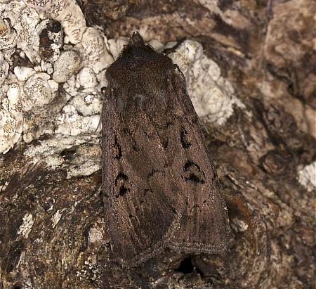 73.351 Double Dart, Graphiphora augur, Co Louth