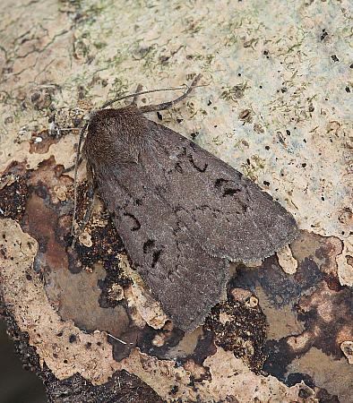 Double Dart, Graphiphora augur, Co Leitrim