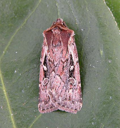73.356 Heath Rustic Xestia agathina, Co Cork