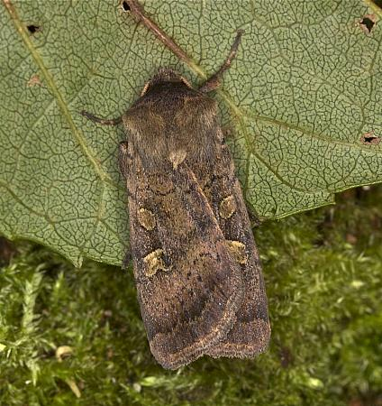 Square-spot Rustic, Xestia xanthographa, Co Louth