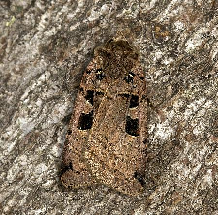 73.361 Double Square-spot, Xestia triangulum, Co Louth