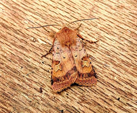 Ingrailed Clay, Diarsia mendica, Co Antrim