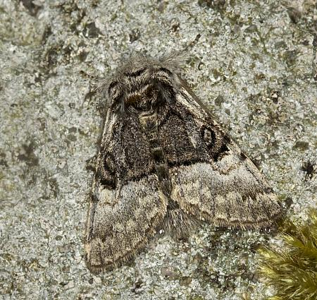 73.032 Nut-tree Tussock, Colocasia coryli, Co Armagh