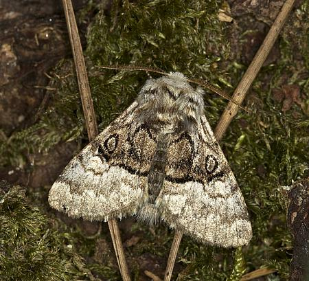 73.032 Nut-tree Tussock, Colocasia coryli, Co Fermanagh
