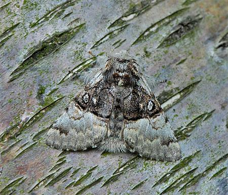 73.032 Nut-tree Tussock, Colocasia coryli, Co Wexford