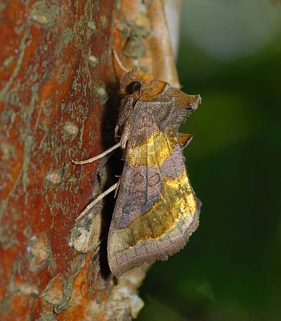 73.012 Burnished Brass, Diachrysia chrysitis, Co Wexford