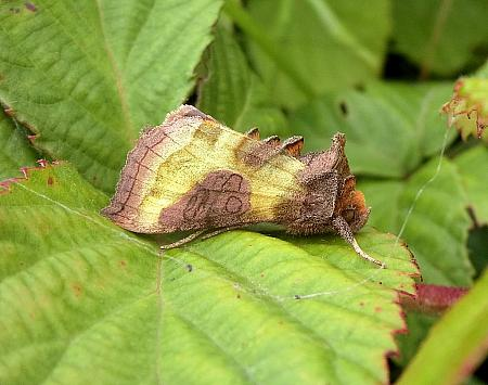 Burnished Brass, Diachrysia chrysitis, Co Antrim
