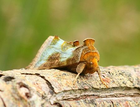 Burnished Brass, Diachrysia chrysitis, Co Donegal