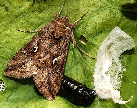 Silver Y, Autographa gamma, Co Tipperary