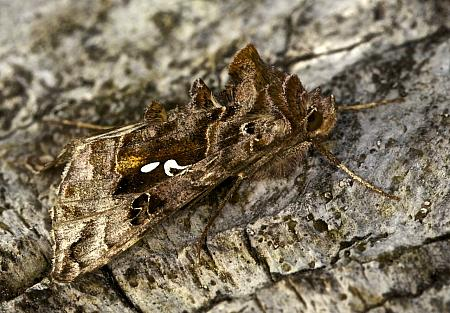 73.016 Beautiful Golden Y, Autographa pulchrina, Co Louth
