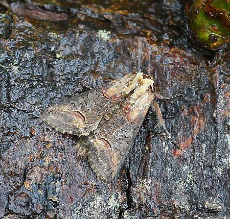Dark Spectacle, Abrostola triplasia, Co Donegal
