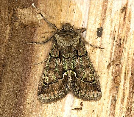 Green-brindled Crescent Allophyes oxyacanthae, Co Louth