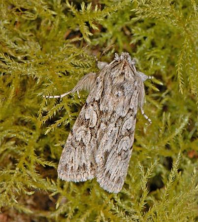73.069 Early Grey, Xylocampa areola, Co Wexford