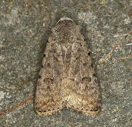 73.095 Pale Mottled Willow, Caradrina clavipalpis, Co Louth