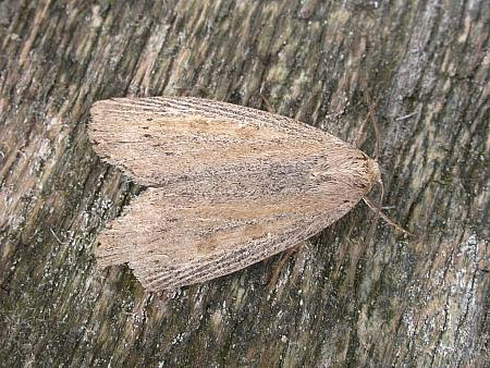 73.1 Silky Wainscot, Chilodes maritimus, Co. Meath