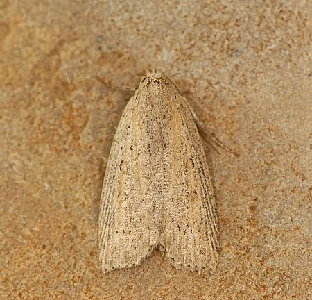 73.100 Silky Wainscot, Chilodes maritimus, Co. Wexford