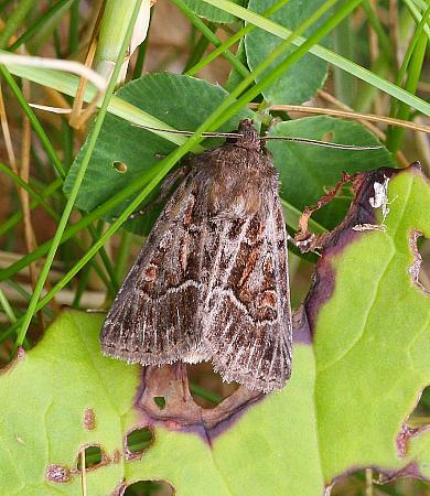 Straw Underwing, Thalpophila matura, Co Donegal