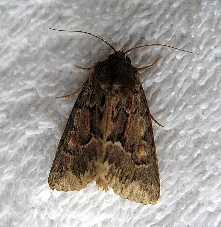 73.109 Straw Underwing, Thalpophila matura, Co Down