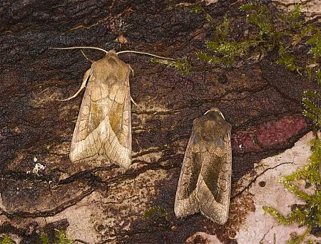 Rosy Rustic, Hydraecia micacea, Co Louth
