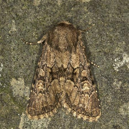 Flounced Rustic, Luperina testacea, Co Louth