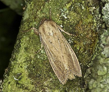 73.136 Bulrush Wainscot, Nonagria typhae, Co Louth