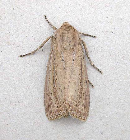 73.136 Bulrush Wainscot, Nonagria typhae, Co Wicklow