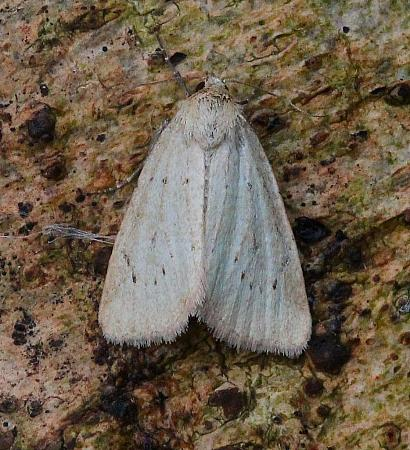 Small Dotted Buff, Photedes minima, Co Leitrim