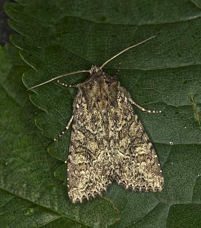 73.154 Dusky Brocade, Apamea remissa, Co Louth