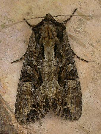 73.154 Dusky Brocade, Apamea remissa, Co. Wicklow