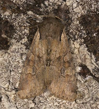 73.158 Rustic Shoulder-knot, Apamea sordens, Co Louth