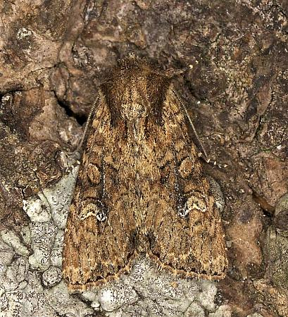 73.159 Small Clouded Brindle, Apamea unanimis, Co. Louth
